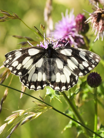 Marbled white butterfly on thistle stock photo, Marbled white butterfly on a thistle flower in summer by Mike Smith