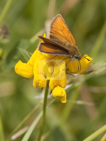 Small skipper thymelicus flavus stock photo, A small skipper butterfly on a trefoil flower by Mike Smith