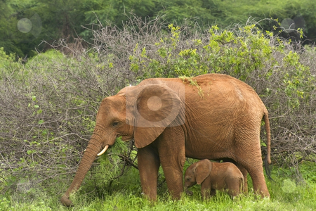 Mother and baby elephant 2 stock photo, A baby elephant sheltering under its mother in samburu national park northern kenya by Mike Smith