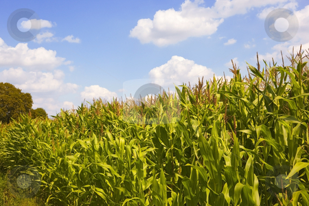Cornfield in summer 2 stock photo, A field of corn with blue sky in summer by Mike Smith