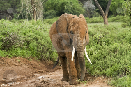 Kenyan elephant 2 stock photo, A lone kenyan elephant in tsavo national park by Mike Smith