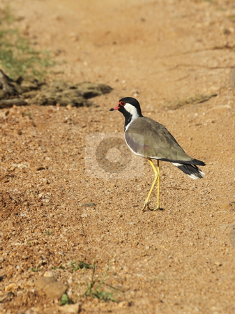 Red wattled lapwing stock photo, A red wattled lapwing vanellus indicus in yala national park sri lanka by Mike Smith