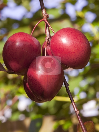 Plums ripening on a tree stock photo, A bunch of plums ripening in summer sun by Mike Smith