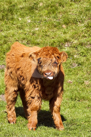 Highland calf stock photo, A highland calf standing in a sunny meadow by Mike Smith