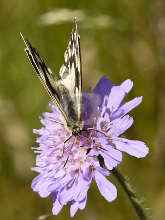 Marbled white butterfly on scabious flower 2 stock photo, A marbled white butterfly on a scabious flower in summer by Mike Smith