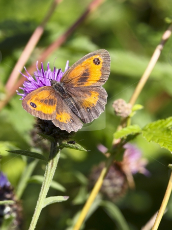Gatekeeper butterfly in summer stock photo, A gatekeeper butterfly on a thistle flower in summer by Mike Smith