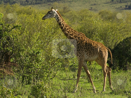 A masai giraffe in kenya stock photo, A masai giraffe in tsavo national park in kenya by Mike Smith