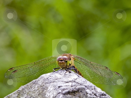 Dragonfly sympetrum striolatum 2 stock photo, A newly emerged dragonfly sympetrum striolatum in summer by Mike Smith