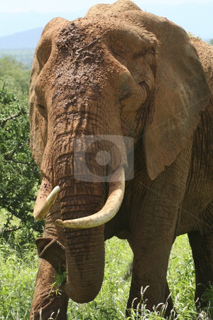 Kenyan tusker stock photo, A close up of a large kenyan tusker covered in red samburu mud by Mike Smith