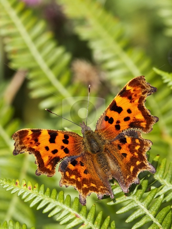 Comma butterfly on fern leaf stock photo, A comma butterfly polygonia c. album on a fern leaf in summer by Mike Smith