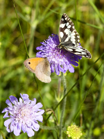Marbled white and meadow brown butterflies stock photo, Marbled white and meadow brown butterflies on a scabious flower by Mike Smith