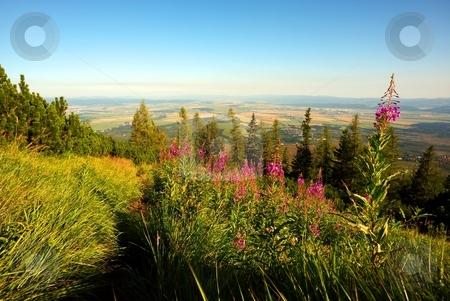 Pink tall flower on mountain meadow stock photo, Pink tall flower on mountain meadow with small town in valley by Juraj Kovacik