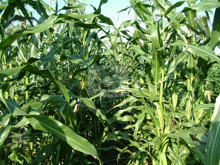 Corn Stalks stock photo, Tall, green corn stalks lined in rows in a garden by Krystal McCammon