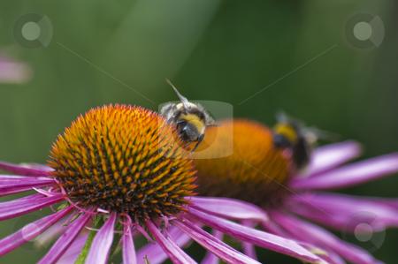 European Honey Bee stock photo, European Honey Bee (Apis mellifera) collecting nectar on flower by Stephen Meese