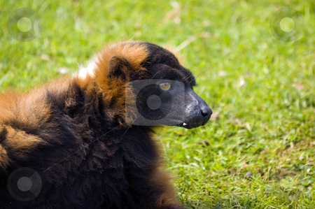 Red Ruffed Lemur stock photo, Close up of Red Ruffed Lemur (Varecia variegata rubra) by Stephen Meese