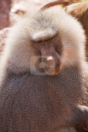 Hamadryas Baboon stock photo, Close up of a Hamadryas Baboon (Papio hamadryas) by Stephen Meese