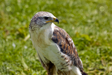Merlin stock photo, Close up of a Merlin (Falco columbarius) by Stephen Meese
