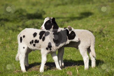 Two jacobs lambs stock photo, Two jacobs lambs in a spring meadow by Mike Smith