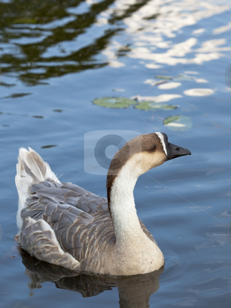 Swan goose female 3 stock photo, A female swan goose anser cygnoides swimming by Mike Smith