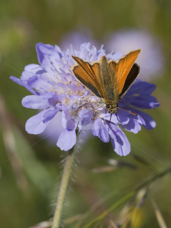 Skipper butterfly on scabious flower stock photo, Skipper butterfly ochlodes venatus on scabious flower knautia arvensis in summer by Mike Smith