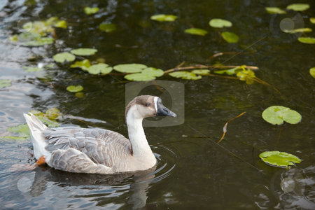 Swan goose female 4 stock photo, A female swan goose anser cygnoides swimming by Mike Smith