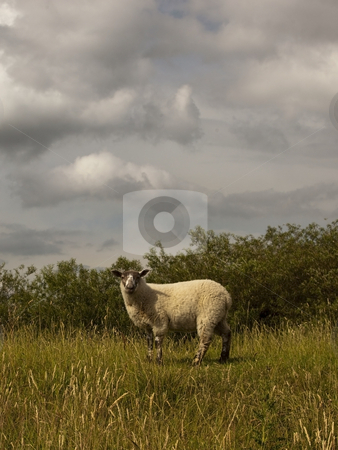 Sheep in field stock photo, Young sheep in field by Mike Smith