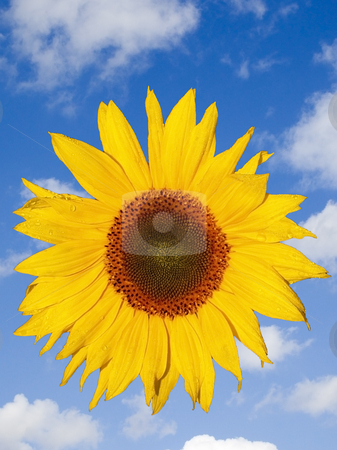 Sunflower and sky stock photo, A bright sunflower on a summer sky background by Mike Smith