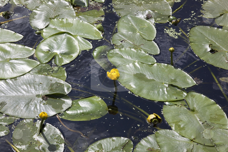 Water lillies on canal stock photo, Water lillies nuphar lutea on a canal in summer by Mike Smith