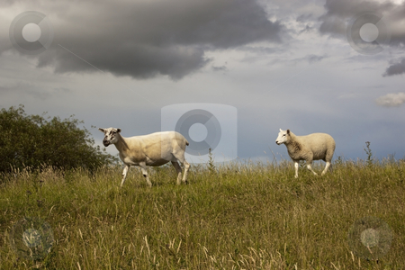 Sheep in grassy field stock photo, Two sheep in grassy field on hillside by Mike Smith