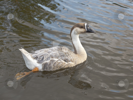 Swan goose female stock photo, A female swan goose anser cygnoides swimming by Mike Smith