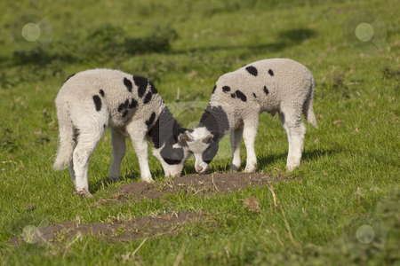 Two jacobs lambs in field stock photo, Two jacobs lambs in springtime sunshine by Mike Smith