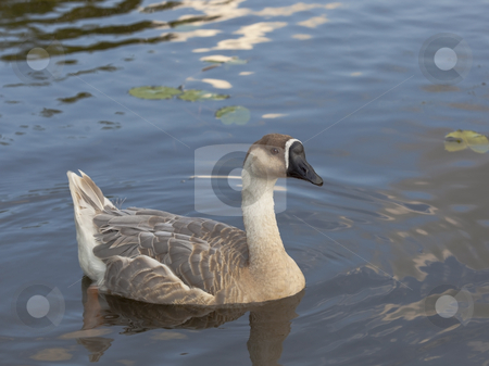 Swan goose female 6 stock photo, A female swan goose anser cygnoides swimming by Mike Smith