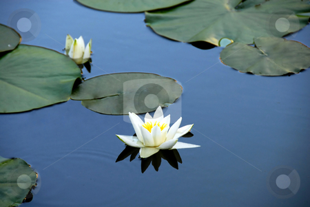 White water lily stock photo, White water lily blooming on blue pond water by Julija Sapic