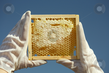 Honey stock photo, Honeycomb with natural  honey by Sergey Goruppa