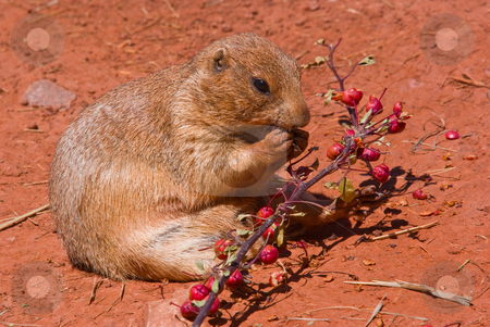 A prairie dog eating stock photo, A prairie dog eating berries off a branch by David Gallaher
