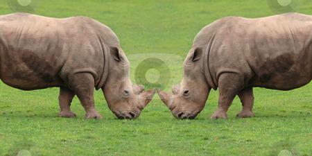 Rhinoceros combat  stock photo, Rhinoceros combat in the countryside by Bernardo Varela