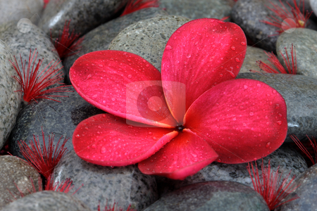 Red plumeria  stock photo, Red plumeria on black stone by Jaggat Images