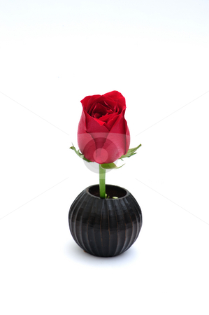 Rose   stock photo, Red rose on white background by Jaggat Images