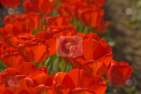 Bright Red Tulip Field With Morning Dew stock photo, This photo shows a bright red tulip field that are ablaze with the morning sunshine showing off the still wet dew. by Valerie Garner