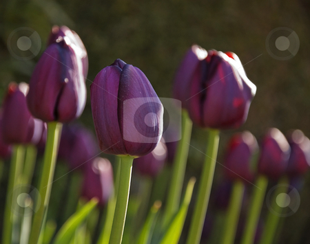Dark Purple Tulips stock photo, This photo is of dark purple, otherwise known as black tulips in early morning light while still closed from the chilly morning. by Valerie Garner