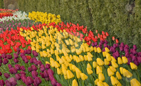 Waves of Brightly Colored Tulips stock photo, This springtime photo has waves of varied colored tulips, purples, yellows, reds, white and more for a visually catching shot. by Valerie Garner