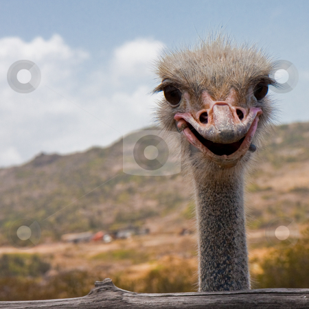 Smile, Ostrich! stock photo, Ostrich farm in Aruba. by Tyson Koska