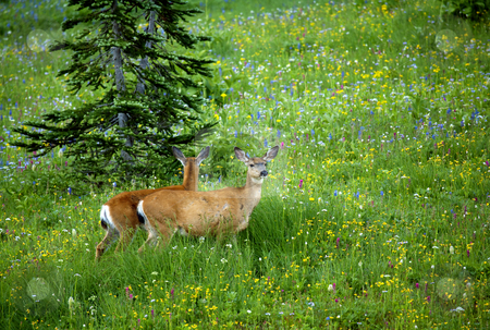Vigilant stock photo, A black-tail doe vigilant as she grazes in a meadow of wildflowers near the Pacific Crest Trail in Washington by Mike Dawson