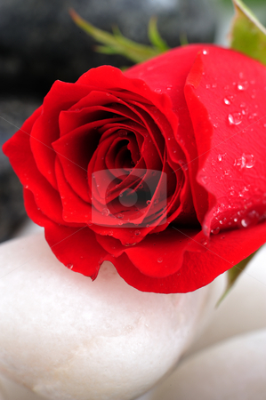 Red rose   stock photo, Beautiful red rose on stone by Jaggat Images