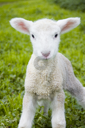 Soft Lamb stock photo, A toy-like lamb, only three days old, looks with inquisitive eyes at the world. by Lee Torrens