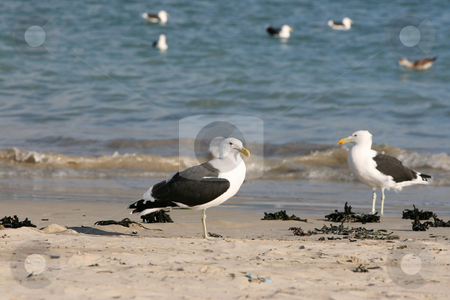 Seagulls stock photo, Two Seagulls standing on the beach, others floating on the sea by Vanessa Van Rensburg