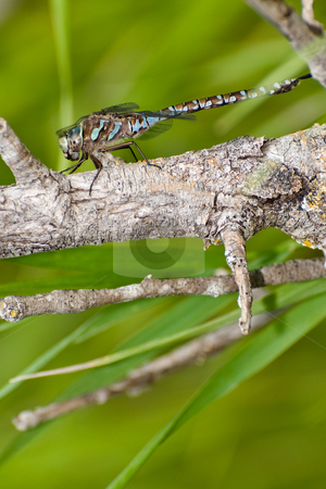 Dragonfly stock photo, A large dragonfly taking a break on a branch, with copysoace underneath by Richard Nelson