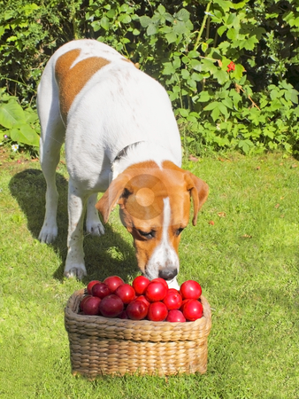 Inquisitive dog stock photo, An inquisitive dog with a basket of plums by Mike Smith