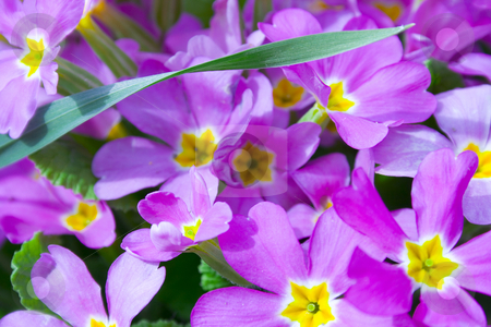 Primrose stock photo, Primrose by Minka Ruskova-Stefanova
