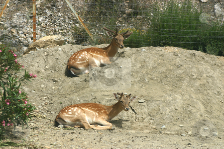 Two deer stock photo, Two deer relaxing on a mound by Darren Booth